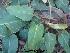 (Philodendron - Hosam00217)  @11 [ ] Copyright (2013) Dr. Hosam Elansary Alexandria University