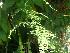 (Asparagus plumosus - Hosam00308)  @11 [ ] Copyright (2013) Dr. Hosam Elansary Alexandria University