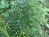 (Asparagus sprengeri - Hosam00214)  @11 [ ] Copyright (2013) Dr. Hosam Elansary Alexandria University
