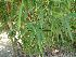 (Bambusa vulgaris - Hosam00050)  @11 [ ] Copyright (2010) Dr. Hosam Elansary Alexandria University