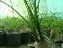(Beaucarnea recurvata - Hosam00451)  @11 [ ] Copyright (2013) Dr. Hosam Elansary Alexandria University