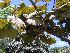 (Coccoloba uvifera - Hosam00063)  @11 [ ] Copyright (2010) Dr. Hosam Elansary Alexandria University