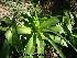 (Amaryllidaceae - Hosam00243)  @11 [ ] Copyright (2013) Dr. Hosam Elansary Alexandria University