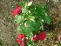 (Euphorbia pulcherrima - Hosam00423)  @11 [ ] Copyright (2013) Dr. Hosam Elansary Alexandria University