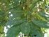 (Ficus platyphylla - Hosam00232)  @11 [ ] Copyright (2013) Dr. Hosam Elansary Alexandria University