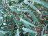 (Ficus longifolia - Hosam00425)  @11 [ ] Copyright (2013) Dr. Hosam Elansary Alexandria University