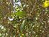 (Ficus benghalensis - Hosam00031)  @11 [ ] Copyright (2010) Dr. Hosam Elansary Alexandria University