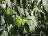 (Ficus benjamina - Hosam00028)  @11 [ ] Copyright (2010) Dr. Hosam Elansary Alexandria University