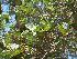 (Ficus sycomorus - Hosam00030)  @11 [ ] Copyright (2010) Dr. Hosam Elansary Alexandria University