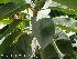 (Ficus elastica - Hosam00033)  @11 [ ] Copyright (2010) Dr. Hosam Elansary Alexandria University