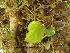 (Ficus hispida - Hosam00148)  @11 [ ] Copyright (2011) Dr. Hosam Elansary Alexandria University