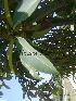(Ficus longifolia - Hosam00032)  @11 [ ] Copyright (2010) Dr. Hosam Elansary Alexandria University