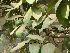 (Ficus racemosa - Hosam00149)  @11 [ ] Copyright (2011) Dr. Hosam Elansary Alexandria University