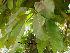 (Ficus virens - Hosam00139)  @11 [ ] Copyright (2011) Dr. Hosam Elansary Alexandria University