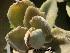 (Kalanchoe tomentosa - Hosam00346)  @11 [ ] Copyright (2013) Dr. Hosam Elansary Alexandria University
