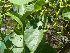 (Moringaceae - Hosam00036)  @11 [ ] Copyright (2010) Dr. Hosam Elansary Alexandria University