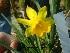 (Narcissus jonquilla - Hosam00338)  @11 [ ] Copyright (2013) Dr. Hosam Elansary Alexandria University