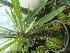 (Pachypodium lamerei - Hosam00468)  @11 [ ] Copyright (2013) Dr. Hosam Elansary Alexandria University