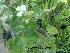 (Pelargonium - Hosam00374)  @11 [ ] Copyright (2013) Dr. Hosam Elansary Alexandria University