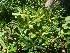 (Pittosporaceae - Hosam00290)  @11 [ ] Copyright (2013) Dr. Hosam Elansary Alexandria University