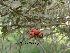 (Pyracantha fortuneana - Hosam00158)  @11 [ ] Copyright (2011) Dr. Hosam Elansary Alexandria University