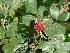 (Rosa hybrida - Hosam00293)  @11 [ ] Copyright (2013) Dr. Hosam Elansary Alexandria University