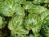 (Saxifraga stolonifera - Hosam00253)  @11 [ ] Copyright (2013) Dr. Hosam Elansary Alexandria University
