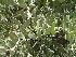 (Simmondsiaceae - Hosam00114)  @11 [ ] Copyright (2011) Dr. Hosam Elansary Alexandria University