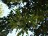 (Ficus drupacea - Hosam00176)  @11 [ ] Copyright (2011) Dr. Hosam Elansary Alexandria University