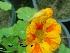 (Tropaeolaceae - Hosam00352)  @11 [ ] Copyright (2013) Dr. Hosam Elansary Alexandria University