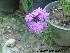 (Verbena x hybrid - Hosam00349)  @11 [ ] Copyright (2013) Dr. Hosam Elansary Alexandria University