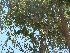 (Ziziphus spina-christi - Hosam00003)  @11 [ ] Copyright (2010) Dr. Hosam Elansary Alexandria University
