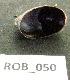 (Crepidula complanata - HVDBM-ROB-50)  @12 [ ] Unspecified (default): All Rights Reserved  Unspecified Unspecified