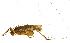 (Romaleidae - CORBIDI AR-000331)  @11 [ ] Copyright (2010) CORBIDI Centro de Ornitologia y Biodiversidad
