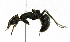 (Thespidae - CORBIDI AR-000353)  @11 [ ] Copyright (2010) CORBIDI Centro de Ornitologia y Biodiversidad