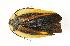 (Paratropes - CORBIDI AR-001030)  @11 [ ] Copyright (2010) CORBIDI Centro de Ornitologia y Biodiversidad