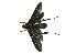 (Pepsis peruana - CORBIDI AR-002992)  @11 [ ] Copyright (2010) CORBIDI Centro de Ornitologia y Biodiversidad