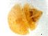 (Selenaspidus - CCDB-23152-C08)  @13 [ ] creative commons – attribution (2014) Ida Bartolini Servicio Nacional de Sanidad Agraria