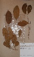  (Achariaceae - BRLU-BS1021)  @11 [ ] by-nc-sa (2013) Unspecified Herbarium de l&#039;Universit&eacute; Libre de Bruxelles