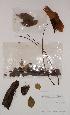 (Tetrapleura - BRLU-BS1210)  @11 [ ] CreativeCommons - Attribution Non-Commercial Share-Alike (2013) Unspecified Herbarium de l'Université Libre de Bruxelles