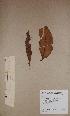 (Funtumia elastica - BRLU-BS1216)  @11 [ ] CreativeCommons - Attribution Non-Commercial Share-Alike (2013) Unspecified Herbarium de l'Université Libre de Bruxelles