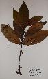 (Funtumia - BRLU-EB0432)  @11 [ ] CreativeCommons - Attribution Non-Commercial Share-Alike (2013) Unspecified Herbarium de l'Université Libre de Bruxelles