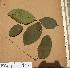 (Lannea - FOLI142)  @11 [ ] CreativeCommons - Attribution Non-Commercial Share-Alike (2013) Unspecified Herbarium de l'Université Libre de Bruxelles