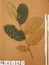 (Chrysobalanaceae - FOLI180)  @11 [ ] CreativeCommons - Attribution Non-Commercial Share-Alike (2013) Unspecified Herbarium de l'Université Libre de Bruxelles