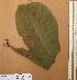 (Anthocleista - FOLI207)  @11 [ ] CreativeCommons - Attribution Non-Commercial Share-Alike (2013) Unspecified Herbarium de l'Université Libre de Bruxelles