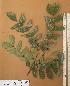 (Newtonia - FOLI215)  @11 [ ] CreativeCommons - Attribution Non-Commercial Share-Alike (2013) Unspecified Herbarium de l'Université Libre de Bruxelles