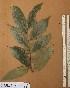 (Diospyros kamerunensis - FOLI216)  @11 [ ] CreativeCommons - Attribution Non-Commercial Share-Alike (2013) Unspecified Herbarium de l'Université Libre de Bruxelles