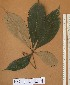 (Heritiera - FOLI224)  @11 [ ] CreativeCommons - Attribution Non-Commercial Share-Alike (2013) Unspecified Herbarium de l'Université Libre de Bruxelles