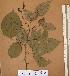 (Dialium - FOLI234)  @11 [ ] CreativeCommons - Attribution Non-Commercial Share-Alike (2013) Unspecified Herbarium de l'Université Libre de Bruxelles