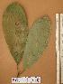 (Protomegabaria - FOLI238)  @11 [ ] CreativeCommons - Attribution Non-Commercial Share-Alike (2013) Unspecified Herbarium de l'Université Libre de Bruxelles